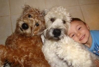 Soft-coated Wheaten Terrier Soft Coated Wheaten Terrier Dog Breed Information and Pictures