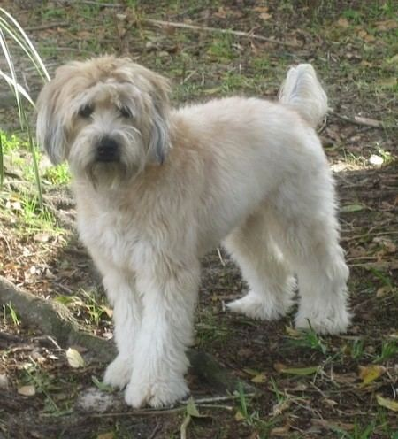 Soft-coated Wheaten Terrier wwwdogbreedinfocomimages28SoftCoatedWheatenTer
