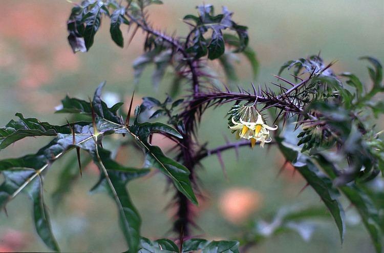 Solanum atropurpureum Solanum atropurpureum Hledat Googlem Colors on the Earth