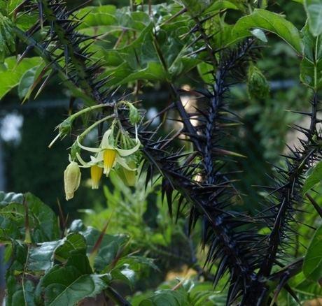 Solanum atropurpureum atropurpureum