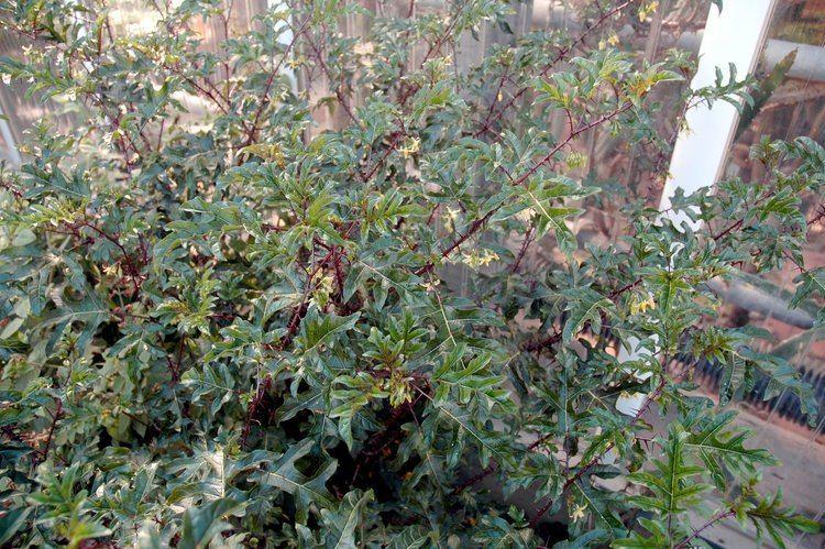 Solanum atropurpureum Wish List Solanum atropurpureum Malevolence My Education of a