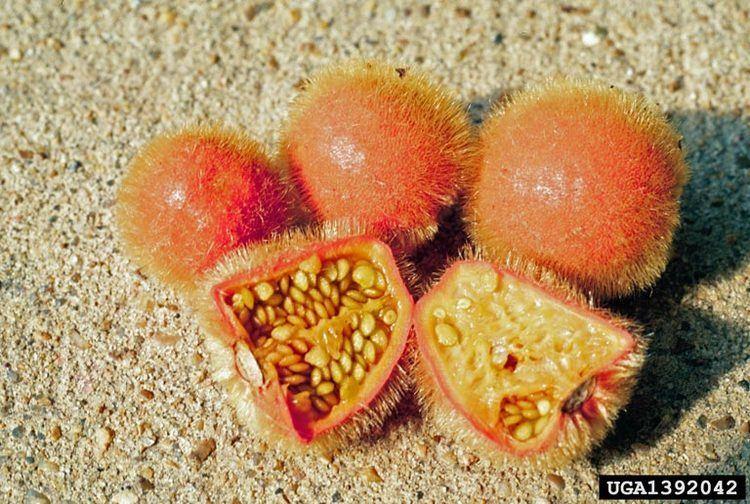 Solanum candidum httpsbugwoodcloudorgimages768x5121392042jpg
