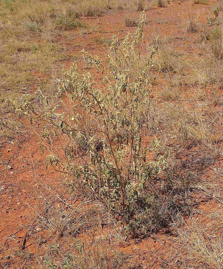 Solanum chippendalei