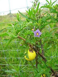 Solanum linnaeanum httpsuploadwikimediaorgwikipediacommonsthu
