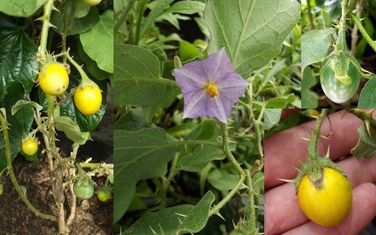 Solanum linnaeanum Devils Apple Fruit of Sodom Poison Eggplant Solanum Linnaeanum Seeds