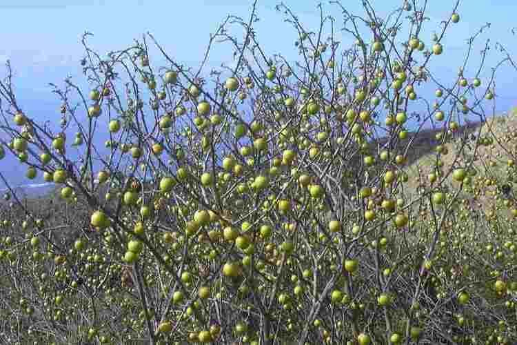 Solanum linnaeanum Solanum linnaeanum
