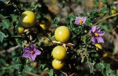 Solanum linnaeanum Other Plants Seeds amp Bulbs 10 Solanum linnaeanum Seeds Devil39s