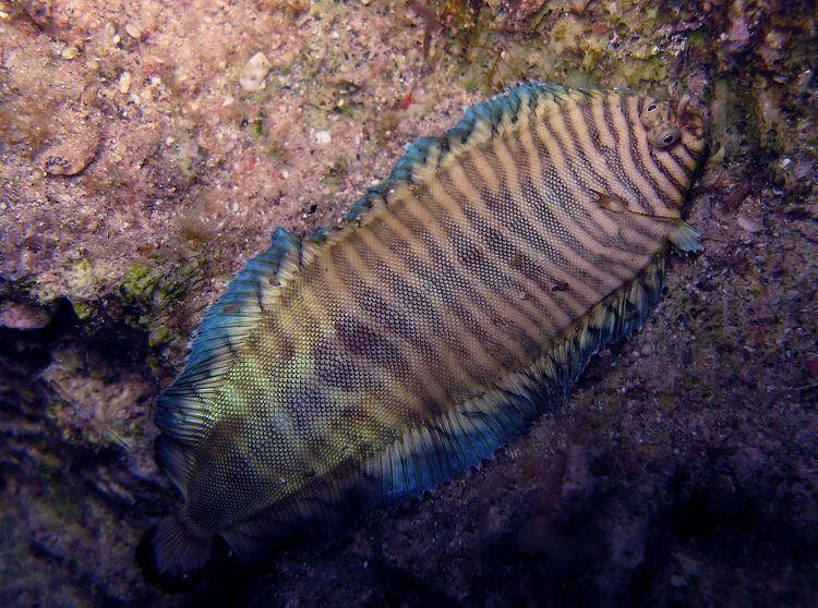 Soleichthys