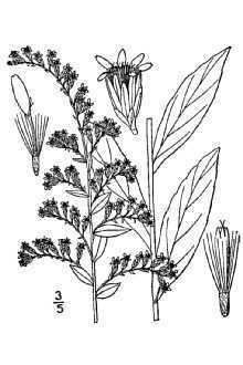 Solidago latissimifolia httpsplantsusdagovgallerystandardsoel2001