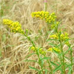 Solidago missouriensis SEINet Arizona Chapter Solidago missouriensis
