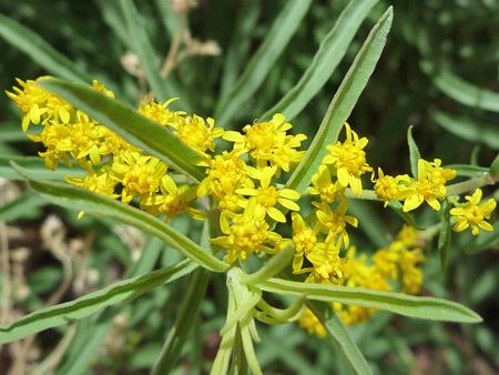 Solidago missouriensis wwwamericansouthwestnetplantsphotographs450so