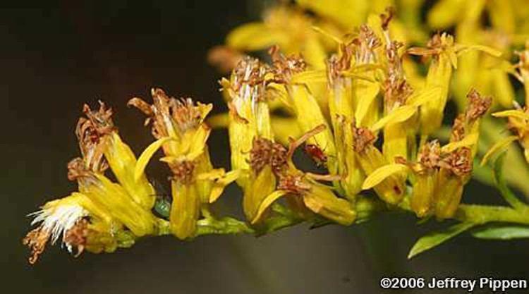 Solidago odora Solidago odora licorice goldenrod Go Botany