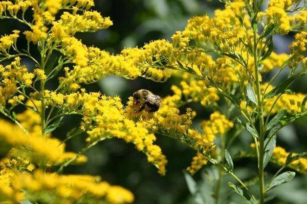 Solidago odora Solidago odora Sweet goldenrod Solidago Goldenrod Perennials
