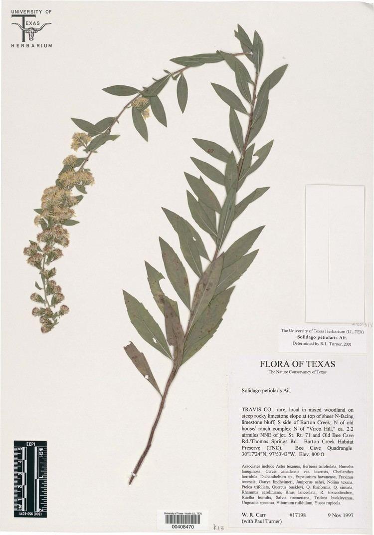 Solidago petiolaris Palafoxia to Symphyotrichum
