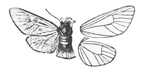 Somabrachyidae