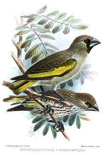 Somali golden-winged grosbeak httpsuploadwikimediaorgwikipediacommonsthu