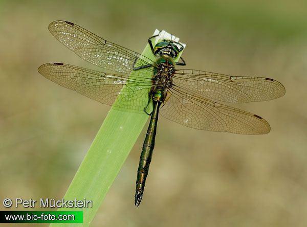 Somatochlora Somatochlora metallica 2402 UK Briliant Emerald DK Glinsende