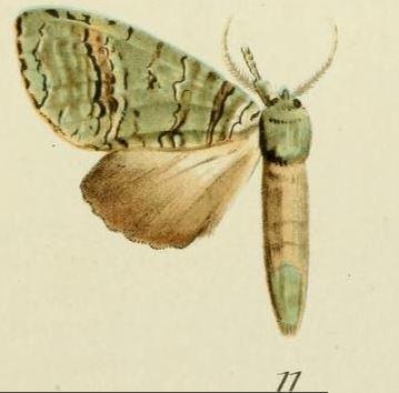 Someropsis viriditincta