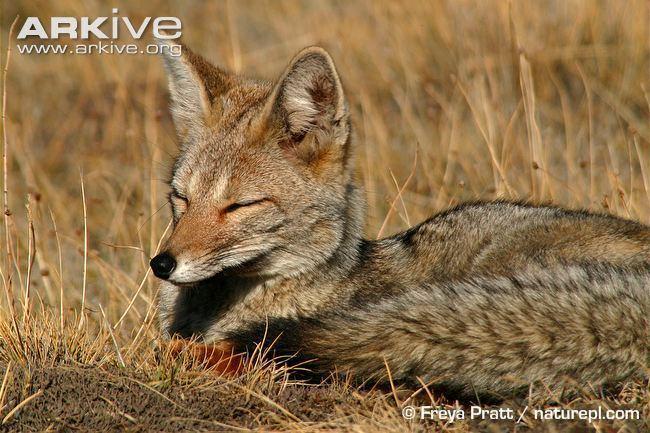 South American fox South American grey fox photo Pseudalopex griseus G64904 ARKive