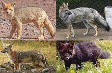South American fox South American fox Wikipedia