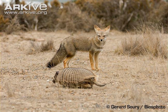 South American fox South American grey fox photo Pseudalopex griseus G65830 ARKive