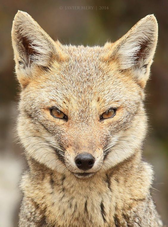 South American fox The South American gray fox Lycalopex griseus also known as the