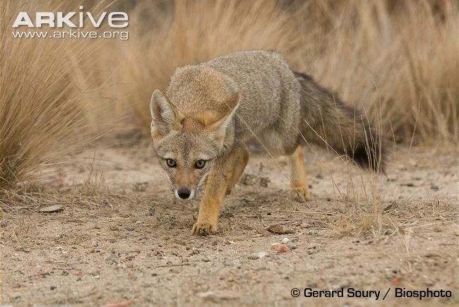 South American fox South American grey fox photo Pseudalopex griseus G65177 ARKive