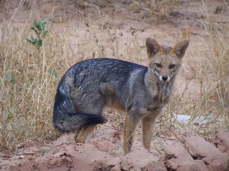 South American fox wwwfaunaparaguaycomimagesLycalopex20gymnocerc