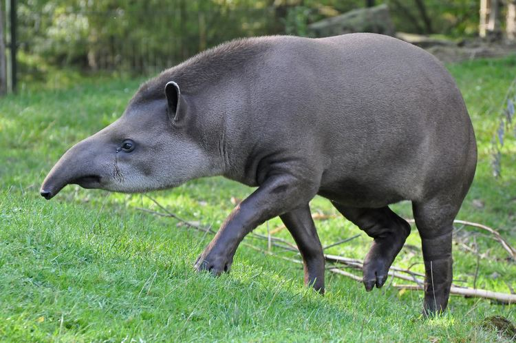 South American tapir - Alchetron, The Free Social Encyclopedia