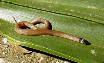 Southeastern crown snake srelherpugaedusnakespicstancor210jpg