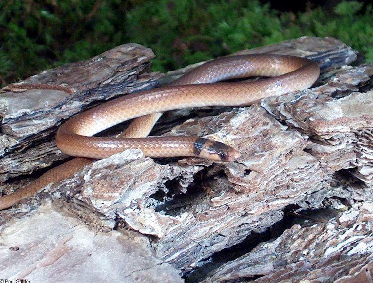 Southeastern crown snake Southeastern Crowned Snake