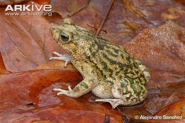Southern crested toad cdn2arkiveorgmediaD9D90F9CDFC27648F898842