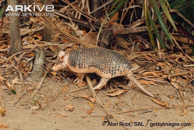 Southern naked-tailed armadillo cdn1arkiveorgmedia5E5EDD6843E9CB4A7E903D8