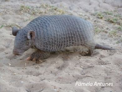 Southern naked-tailed armadillo Anteater Sloth amp Armadillo Specialist Group