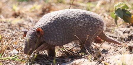Southern naked-tailed armadillo Southern nakedtailed armadillo Mammals Insectivores Pinterest