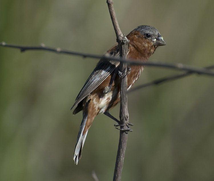 Southern South American Migratory Grassland Bird Species Memorandum of Understanding