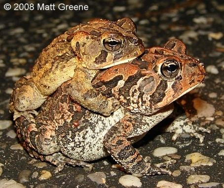 Southern toad Southern Toad Outdoor Alabama