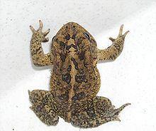 Southern toad httpsuploadwikimediaorgwikipediacommonsthu