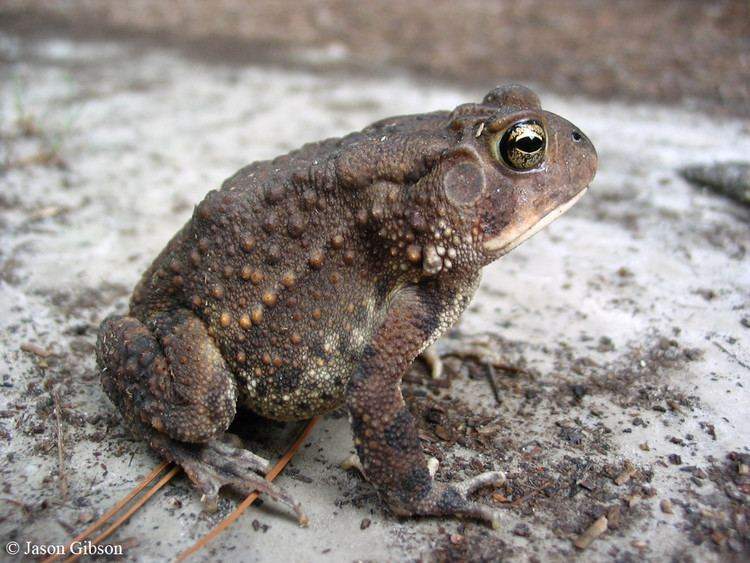 Southern toad Southern Toad