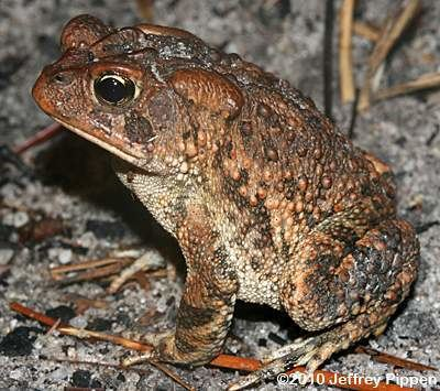 Southern toad Toad Bufo terrestris