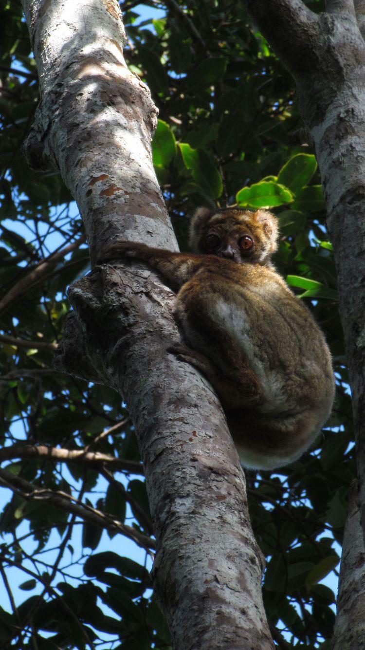 Southern Woolly Lemur Alchetron The Free Social Encyclopedia