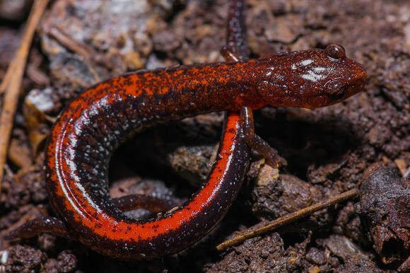 Southern zigzag salamander Southern Zigzag Salamander Project Noah