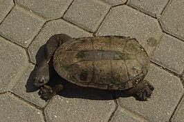 Southwestern snake-necked turtle httpsuploadwikimediaorgwikipediacommonsthu