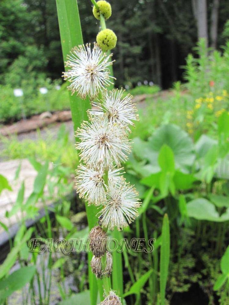 Sparganium americanum Burreed Sparganium americanum grasses