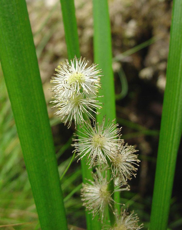 Sparganium americanum Sparganium americanum American burreed Go Botany