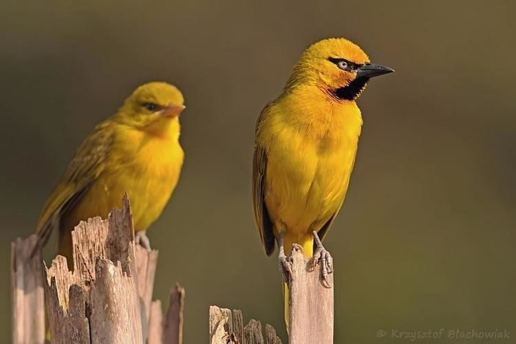 Spectacled weaver Spectacled Weaver Ploceus ocularis videos photos and sound