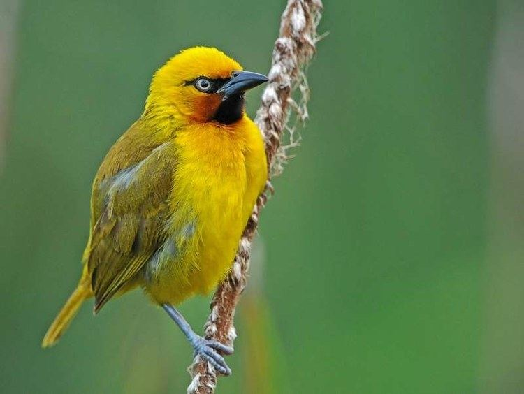 Spectacled weaver Spectacled Weaver