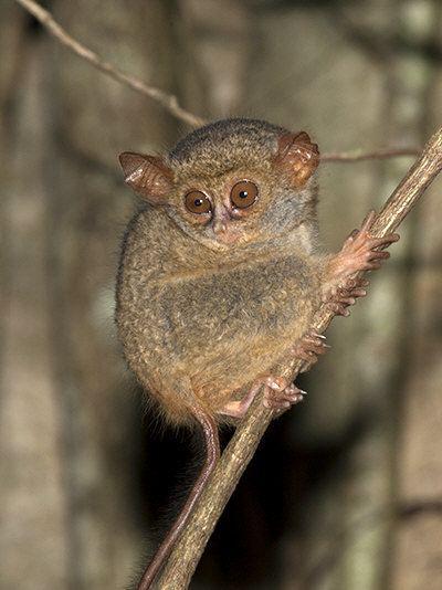 Spectral tarsier Spectral Tarsier Tarsius tarsier