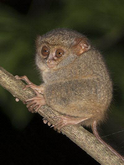 Spectral tarsier wwwecologyasiacomimagesstuspectraltarsier00