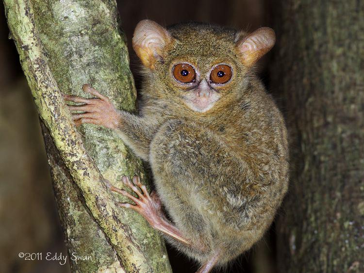 Spectral tarsier The spectral tarsier One of the shortest and most primitiv Flickr